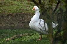 Free Bird, Water Bird, Goose, Ducks Geese And Swans Stock Image - 118154741