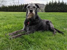 Free Dog, Dog Like Mammal, Dog Breed, Miniature Schnauzer Royalty Free Stock Photos - 118154748