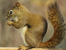 Free Squirrel, Fauna, Mammal, Fox Squirrel Royalty Free Stock Images - 118154969