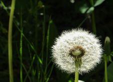 Free Flower, Dandelion, Flora, Plant Stock Photo - 118155170