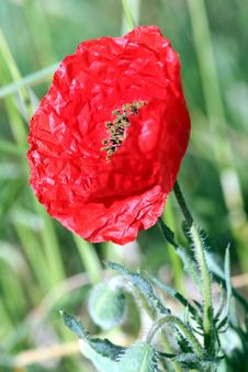 Free Flower, Poppy, Poppy Family, Coquelicot Stock Photo - 118155260