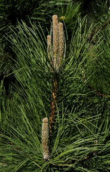 Free Tree, Pine Family, Plant, Conifer Royalty Free Stock Photo - 118155265