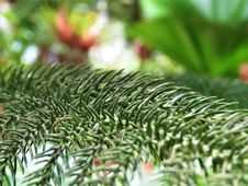 Free Pine Family, Tree, Fir, Conifer Royalty Free Stock Image - 118155316