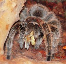 Free Tarantula, Invertebrate, Arthropod, Organism Stock Photo - 118155590