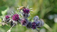 Free Thistle, Plant, Silybum, Noxious Weed Stock Photos - 118155663