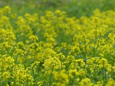 Free Rapeseed, Yellow, Canola, Mustard Royalty Free Stock Photos - 118155698