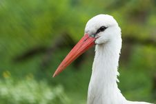 Free White Stork, Bird, Stork, Beak Royalty Free Stock Photos - 118155838