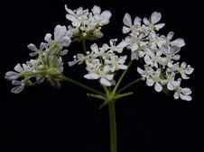 Free Plant, Cow Parsley, Flower, Anthriscus Stock Photo - 118155850