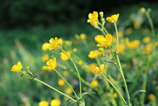 Free Flower, Yellow, Flora, Mustard Plant Royalty Free Stock Images - 118155959