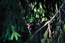 Free Photo Of Brown Deer Near Green Leaf Tree Royalty Free Stock Photo - 118221455