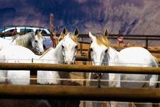 Free Three White Horses On A Barn Stock Photography - 118221542