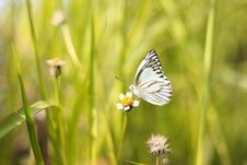 Free White And Black Butterfly On White Flower Royalty Free Stock Image - 118221686