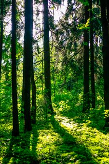 The Forest In The Sunlight Royalty Free Stock Photo