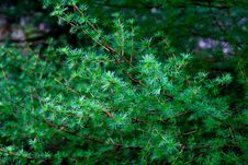 Free Branch Of A Larch Stock Photo - 118237990