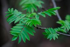 Free The Leaves Of Mountain Ash Blossomed In The Spring Royalty Free Stock Photo - 118238235