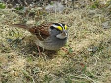 Free Bird, Sparrow, Fauna, House Sparrow Stock Photo - 118241670