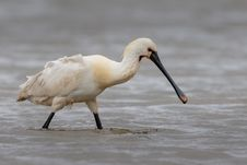 Free Bird, Spoonbill, Beak, Pelecaniformes Stock Image - 118241691