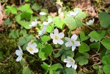 Free Plant, Flora, Flower, Wood Sorrel Family Stock Photo - 118242060