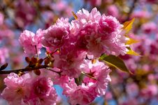 Free Pink, Blossom, Flower, Cherry Blossom Stock Photography - 118242072