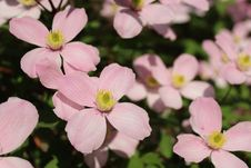 Free Flower, Plant, Wood Sorrel Family, Petal Stock Image - 118242101
