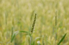 Free Field, Crop, Grass Family, Grass Stock Image - 118242141