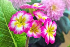 Free Flower, Pink, Primula, Plant Royalty Free Stock Images - 118242149