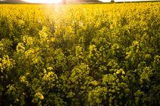 Free Rapeseed, Yellow, Canola, Mustard Plant Royalty Free Stock Image - 118242186