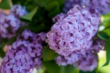 Free Flower, Lilac, Purple, Hydrangea Stock Photos - 118242193