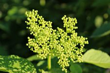 Free Plant, Apiales, Parsley Family, Subshrub Royalty Free Stock Images - 118242329