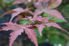 Free Leaf, Plant, Tree, Maple Tree Stock Photography - 118242352