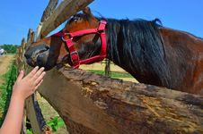 Free Horse, Horse Like Mammal, Rein, Horse Tack Stock Photography - 118242402