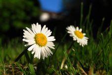 Free Flower, Oxeye Daisy, Chamaemelum Nobile, Daisy Royalty Free Stock Image - 118242486
