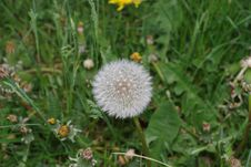 Free Flower, Flora, Plant, Dandelion Stock Photos - 118242583