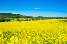 Free Rapeseed, Yellow, Field, Canola Royalty Free Stock Images - 118242599