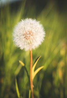 Free Flower, Dandelion, Flora, Close Up Stock Image - 118242611
