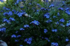 Free Blue, Flower, Plant, Forget Me Not Stock Photos - 118242643