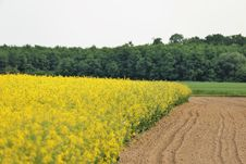 Free Yellow, Rapeseed, Field, Canola Royalty Free Stock Images - 118242679