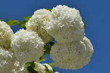 Free White, Flower, Hydrangea, Viburnum Royalty Free Stock Photography - 118242807