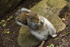 Free Mammal, Squirrel, Fauna, Fox Squirrel Royalty Free Stock Photography - 118242817