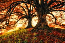 Free Two Trees During Autumn Royalty Free Stock Image - 118290536