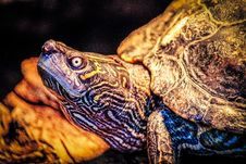 Free Closeup Photo Of Turtle Royalty Free Stock Images - 118290609
