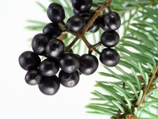 Free Black Wood Berries And Fur-tree Needles Stock Photography - 11836752