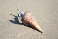 Free Conch, Seashell, Sea Snail, Close Up Royalty Free Stock Images - 118324599