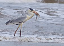 Free Bird, Beak, Shorebird, Heron Stock Images - 118324704