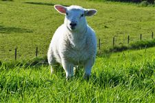 Free Sheep, Pasture, Grassland, Grass Stock Photography - 118325002