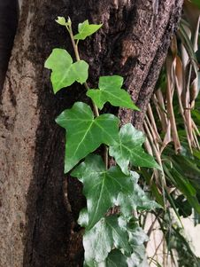 Free Plant, Leaf, Flora, Ivy Stock Image - 118325011
