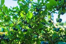 Free Plant, Bilberry, Fruit, Tree Stock Image - 118325021