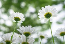 Free Flower, Oxeye Daisy, Chamaemelum Nobile, Daisy Family Royalty Free Stock Photography - 118325217