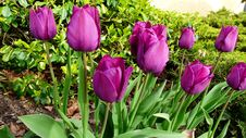 Free Flower, Plant, Flowering Plant, Tulip Stock Photography - 118325322