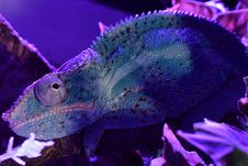 Free Blue, Chameleon, Purple, Marine Biology Stock Photos - 118325363